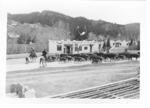 Cattle drive in Kittredge mid 1950's