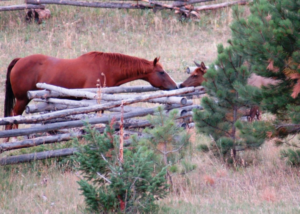 Horse and Elk visiting over a zig zag fence